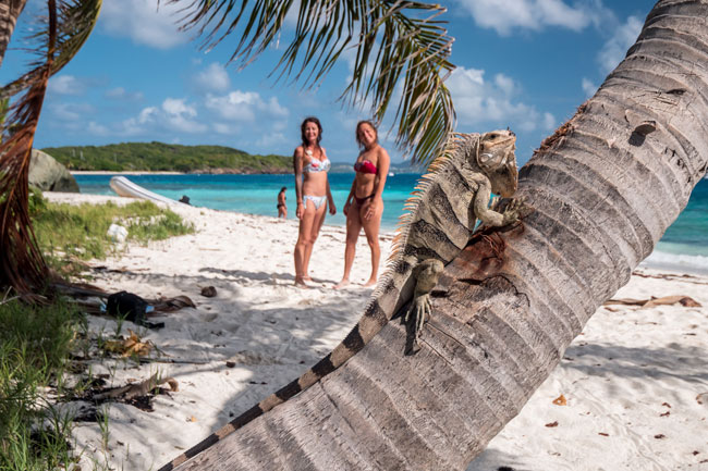 Iguana in Tobago Cays in The Grenadines